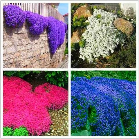 100pcs/bag Creeping Thyme Seeds or Blue ROCK CRESS Seeds - Perennial Ground cover flower, Natural growth for home garden