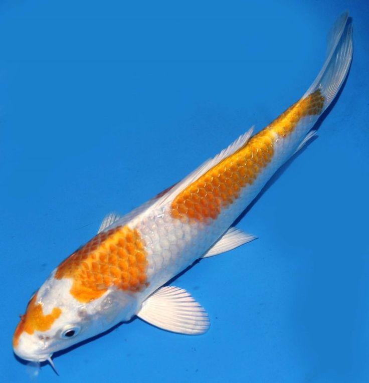 423 best koi fish images on pinterest fish aquariums for Koi equipment