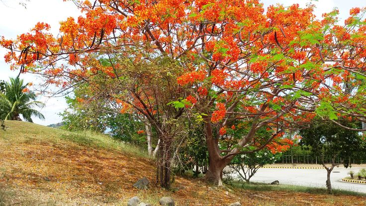 Fire tree or flame tree in a summer afternoon.