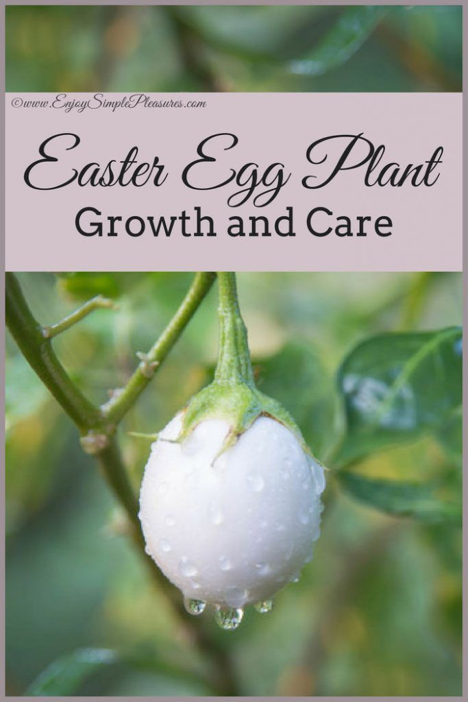Easter Egg Plant Care and Growing | Enjoy Simple Pleasures ...