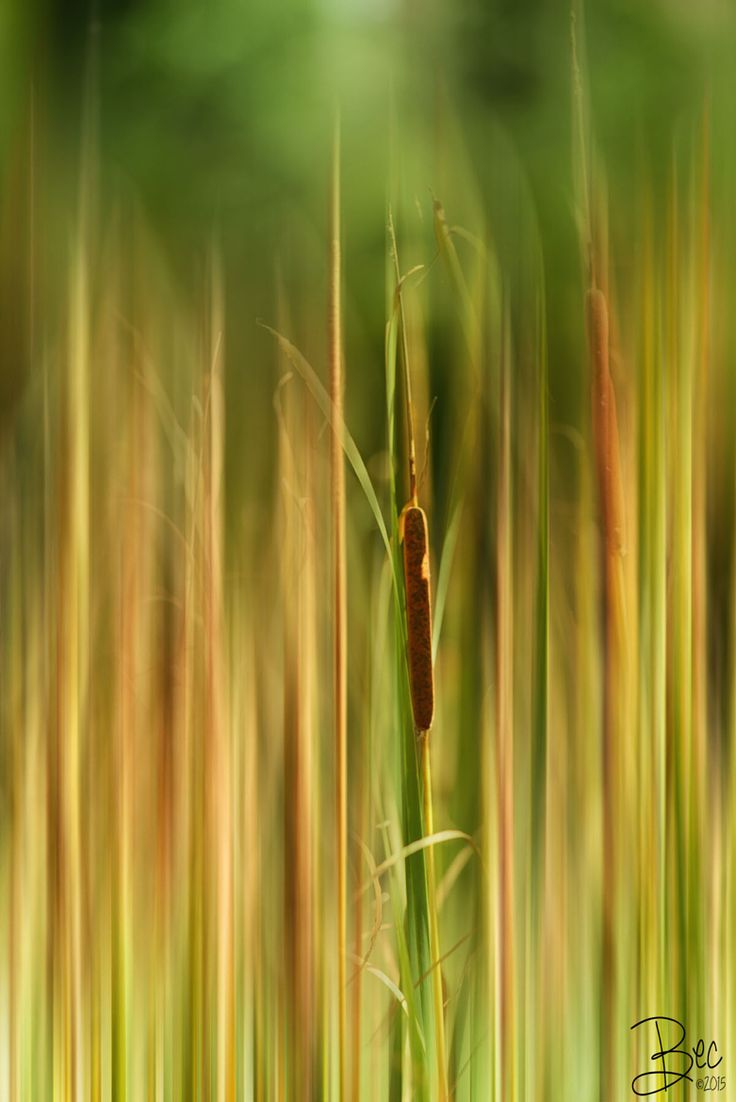 Photograph Bullrush by Bec Hutley on 500px