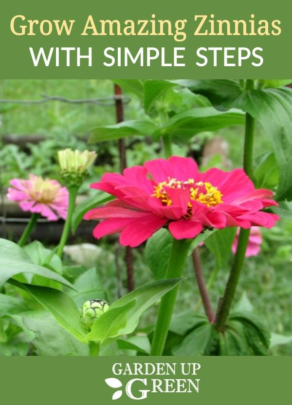Easy To Grow Zinnias With Images Zinnia Garden Wildflower