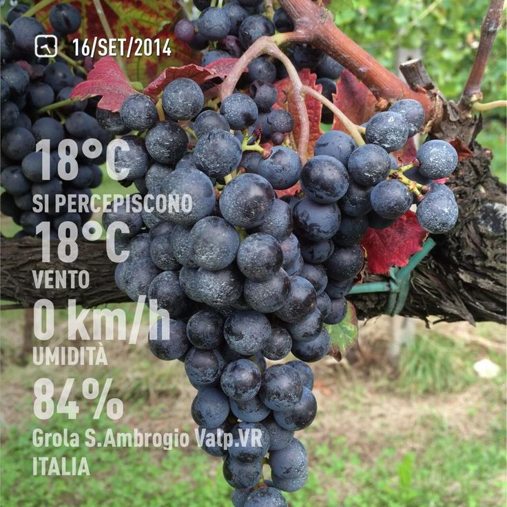 September 26th, 2014, Valpolicella, Veneto, Italy. Fall color is arriving at the Vineyard. #wine
