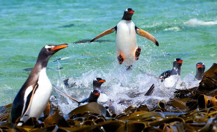 Photographer Ashley Neuhof waited all day to capture this perfect shot of a penguin mid flight!