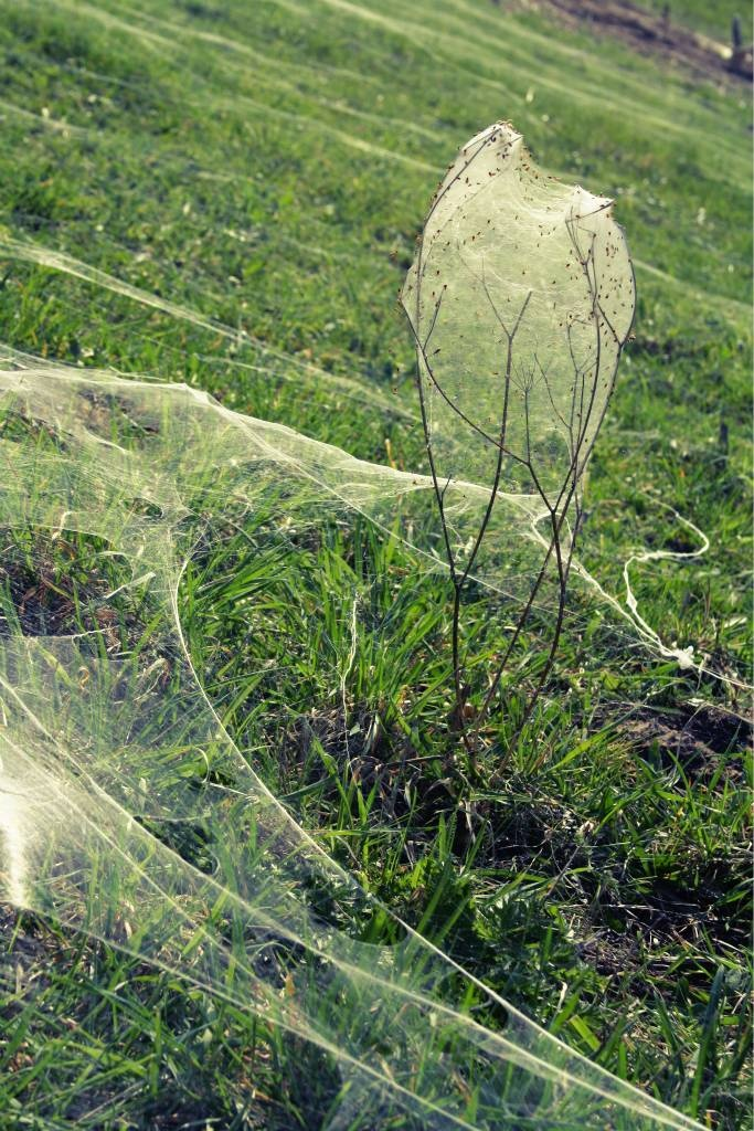 spiderwebs in ooij