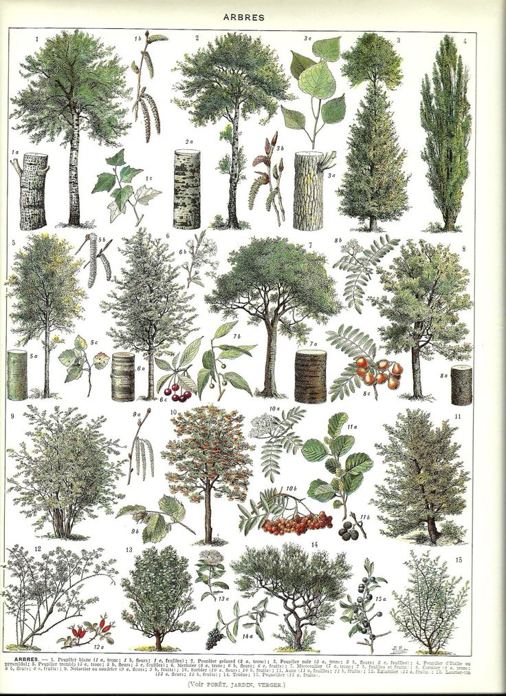 TREES - Vintage BOTANICAL Poster - French Color Illustration - 1930.