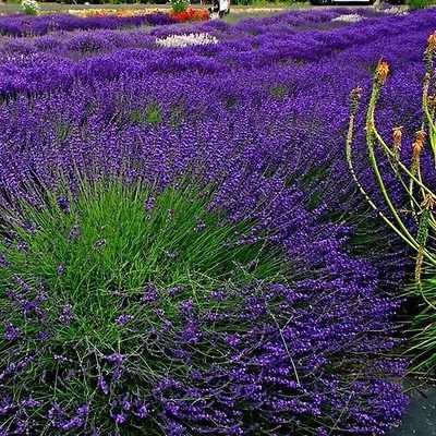 50+ Lavender Hidcote Flower Seeds ,Under The Sun Seeds
