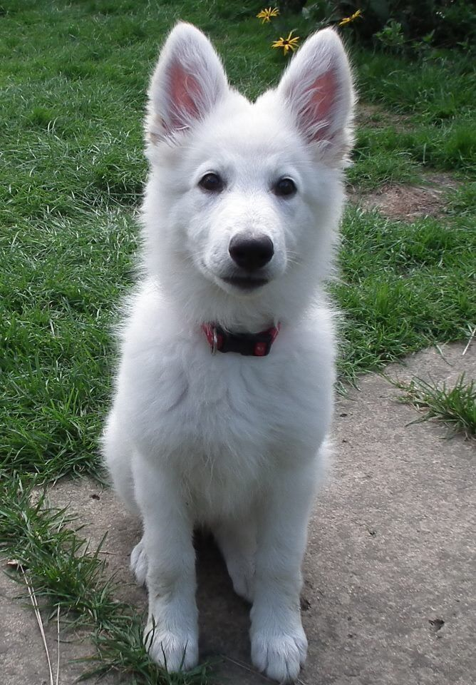 This white german shepherd puppy is a really good looking dog.