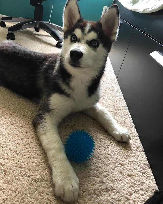 Post Puppy Bath Time Follow Me Husky Apolloo For More Shots
