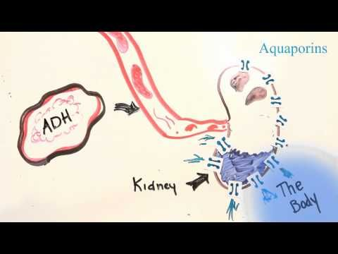 Love this video on ADH -- why do we pee more when we drink coffee/alcohol? (plus, the regulation of BP when hypovolemic or hypotensive)