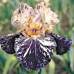 Gnus Flash German Iris - Iris Bulbs - Flower Bulbs - Gurney's Seed & Nursery