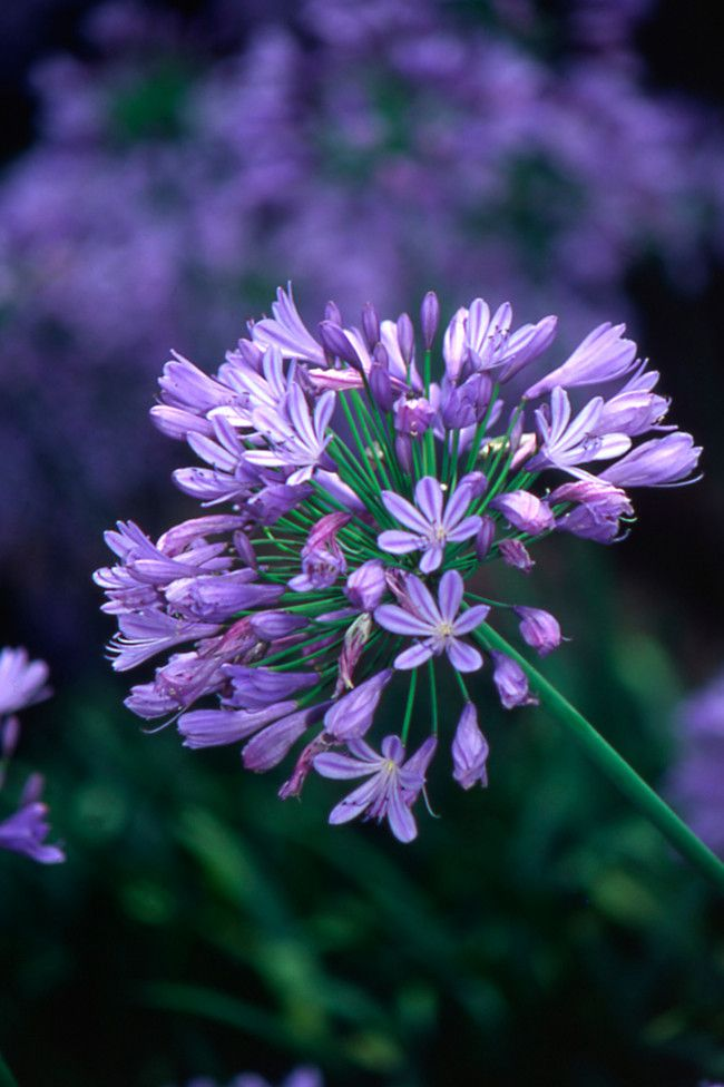 10 plants you can't kill  image 6. Agapanthus   Aggies are hardy and easily grown, (so much so that in some areas they have been designated weed status but sterile cultivars now exist). They tolerate drought and poor soil, but will perform best with an occasional water and feed.