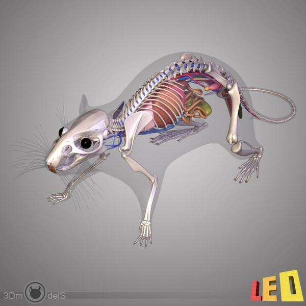 94 Best Rat Study Images On Pinterest Pet Rats Fancy Rat And Rats