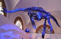 Tuarangisaurus is an extinct genus of  elasmosaurid known from New Zealand. The type and only known species is T. keyesi.
