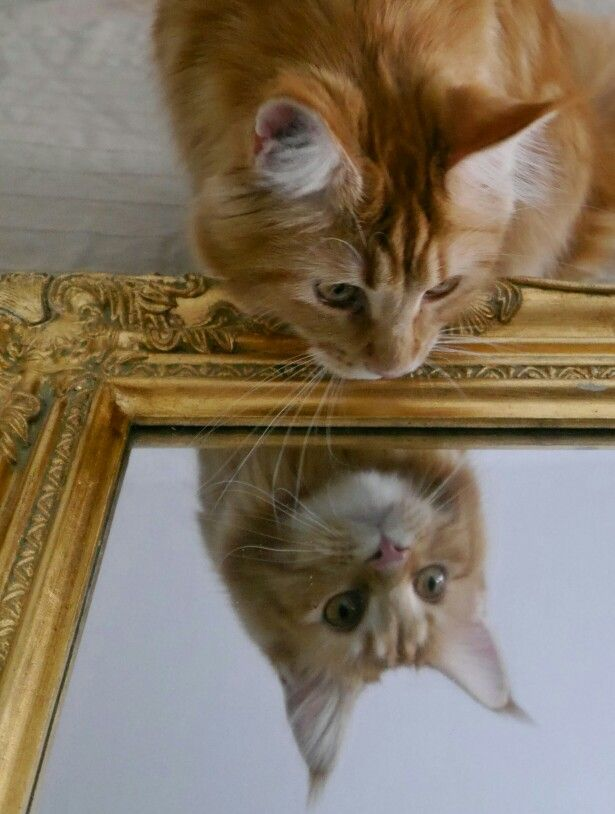 Nami the Cat   Red Cat cute  Maine coon  Mirror