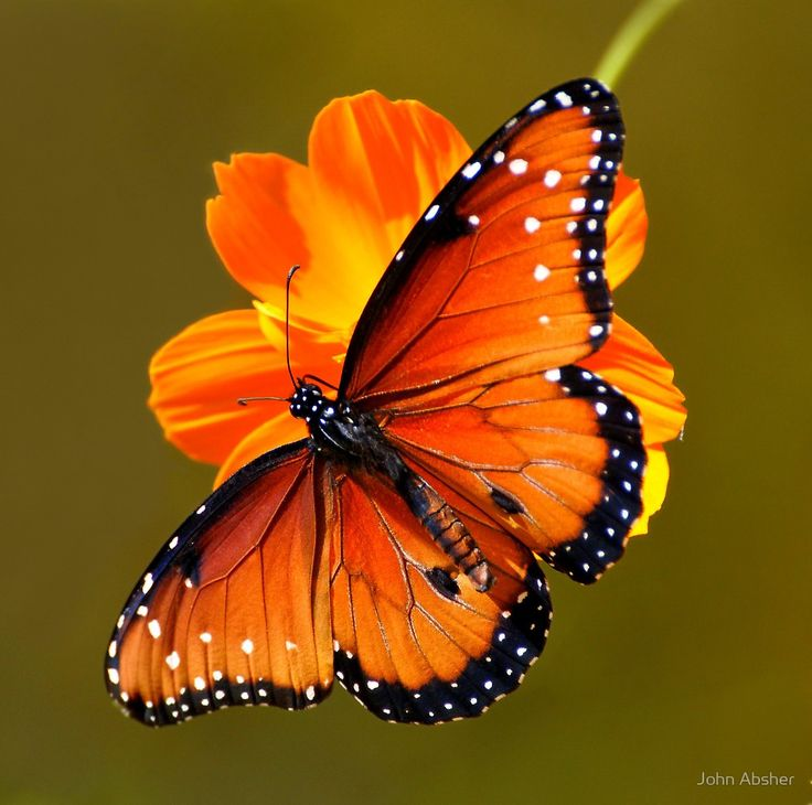 Queen Butterfly - Butterfly Exhibit at Tucson, Arizona's Bontanical Gardens by John Absher