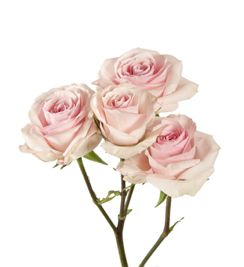 Star blush spray roses: