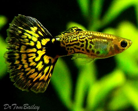 Green Cobra Guppy.  I've had one in my tank, and this little guy added the much needed color in my tank!  Hardy fish, and easy to take care of!