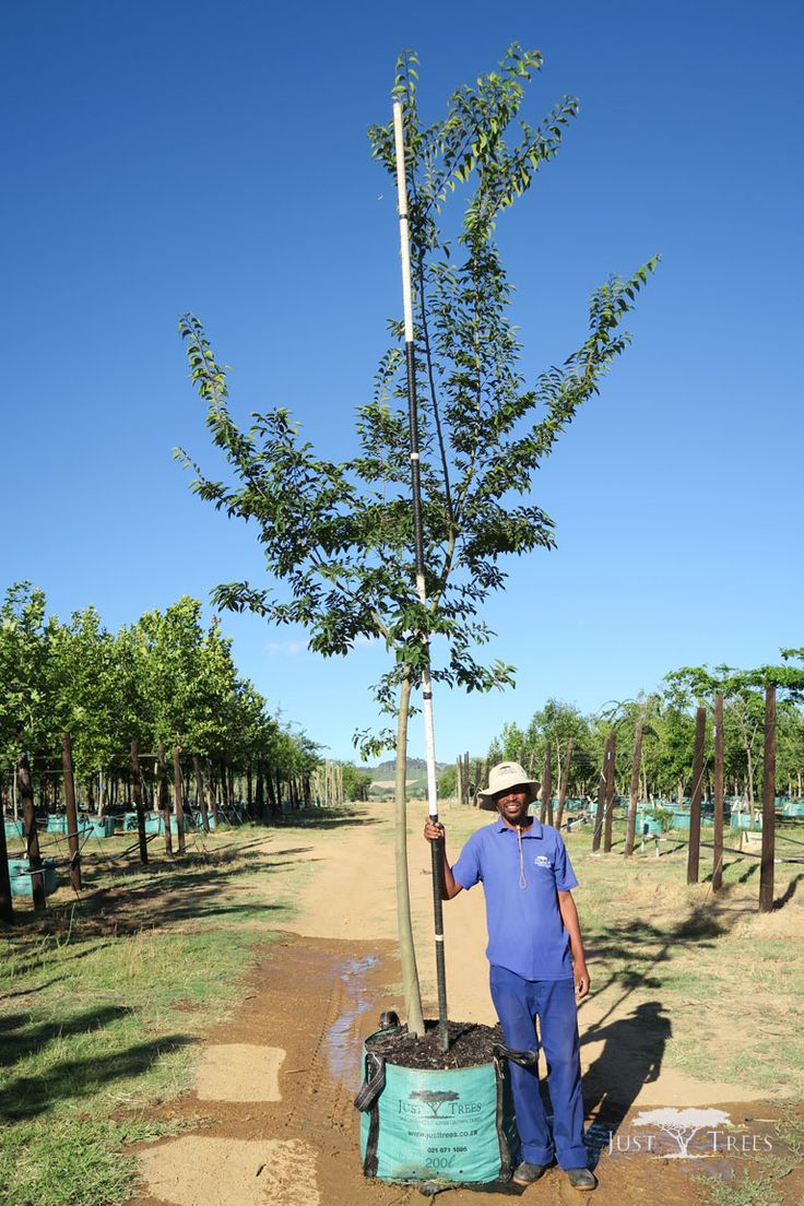 200L Celtis sinensis. This deciduous tree is capable of growing to an impressive height. Able to grow in a variety of conditions, it is a popular choice for a large garden and parks. This specimen wouldå work beautifully both as an avenue and as a windbreak.