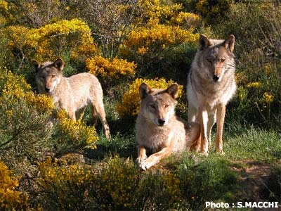 LES LOUPS DU GEVAUDAN - SAINT-LÉGER-DE-PEYRE (48) - FRANCE - (www.infoparks.com)