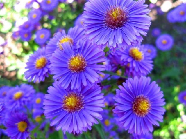 As flores e seus significados no Casamento: Áster. Lembra uma margarida colorida Significa amor verdadeiro