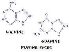 Nucleic acids - Purines