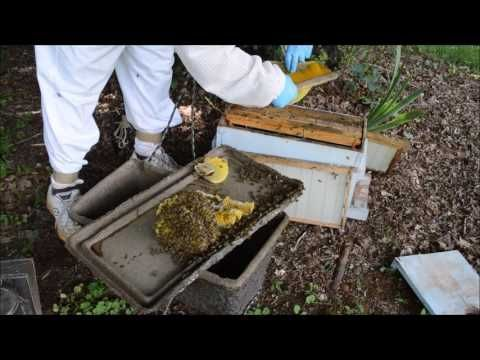 Catching A Bee Swarm In a Bait Box & getting them out.  One of the best parts of beekeeping for many beekeepers. Carolina Honeybees Farm Pickens SC