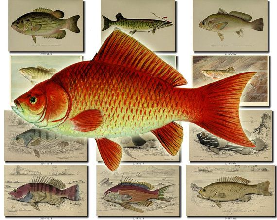 FISHES-36 Collection of 64 vintage images Bass Trout Perch