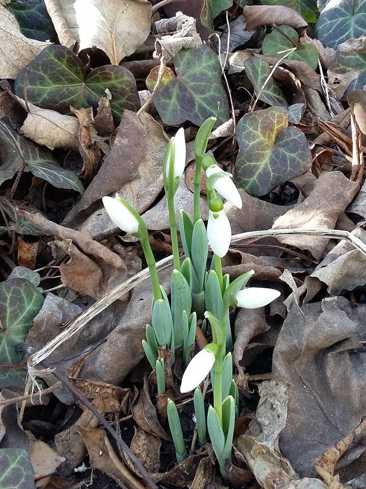 Hóvirág :) Tavasz :)  Snowdrops :) Spring :)