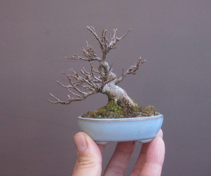 Japanese mini Bonsai, a trident maple (Acer buergerianum) by Haruyosi. #bonsai #盆景 #盆栽 #분재 #bonsaitree