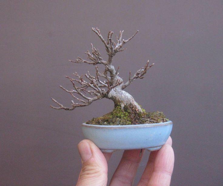 Japanese mini Bonsai, a trident maple (Acer buergerianum) by Haruyosi. #bonsai #盆景 #盆栽 #분재 #bonsaitree