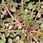 Juste une mauvaise herbe, ou une plante méconnue qui renforce la santé?