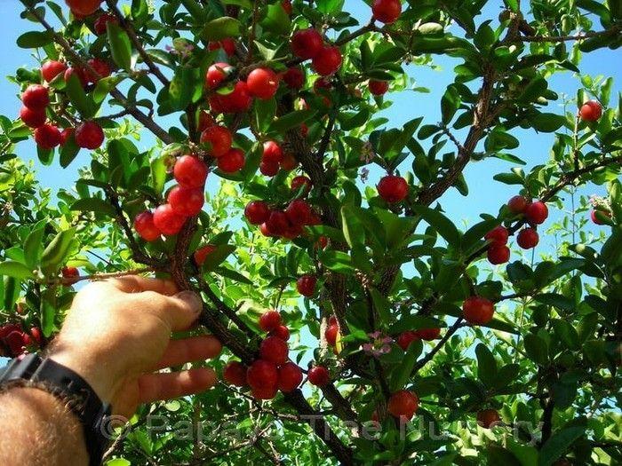 Beach cherry seed Just 10k  sms / wa 085777119992 line id : silkynazma