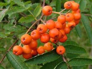 Рябина Невежинская (Кубовая, Желтая и Красная)Местный сорт Ивановской области. Характеризуется высокой зимостойкостью и урожайностью.   Виды Невежинской рябины: Кубовая, Желтая, Красная.  У Кубовой рябины плоды оранжево-красные, кисло-сладкие, массой 0,5 г. Без терпкости. У Желтой рябины плоды примерно такого же размера, но оранжево-желтые.  У Красной рябины плоды крупней, ярко-красные,  более сладкие.  Деревья всех сортов зимостойки, высокорослы. Из-за этого к 15–20 годам их жизни возникает…