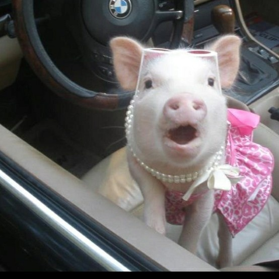 Marilyn Mini pig was caught driving mom's convertible..again