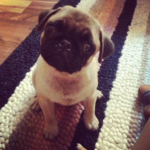 1000+ Images About Cute Pugs On Pinterest