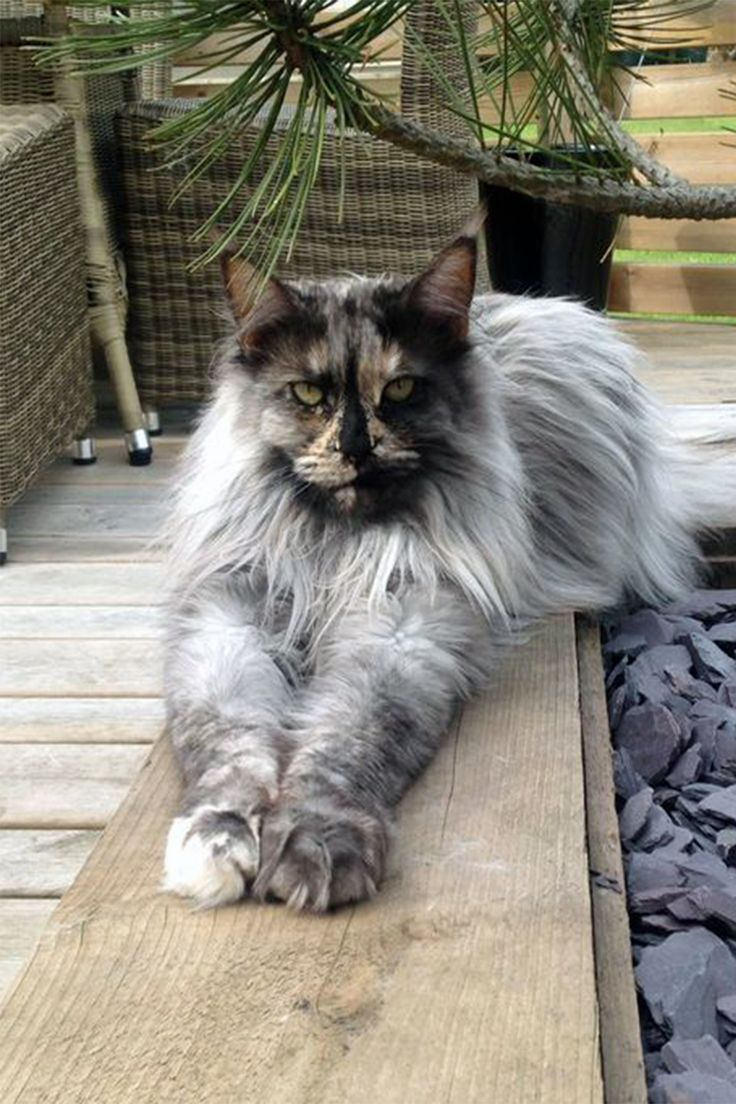 Where to Find Maine Coon Kittens for Sale?