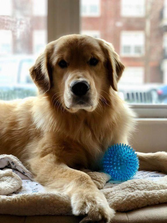 Facts On The Devoted Golden Retriever Puppies And Kids