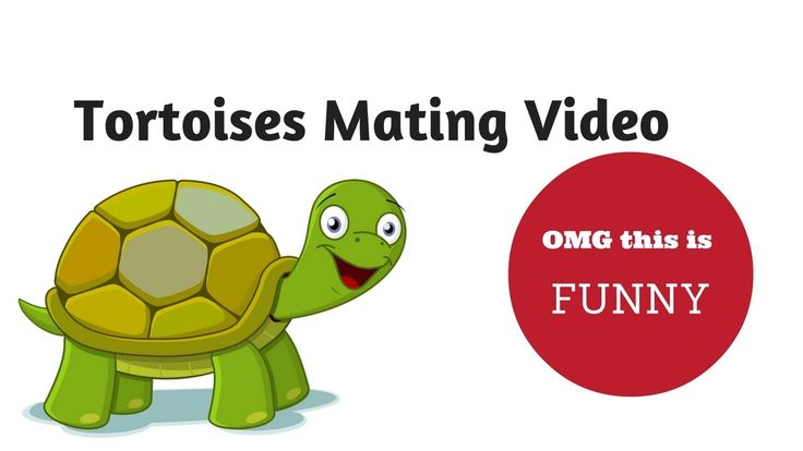 Tortoises Mating Video - OMG you have to see kids reaction!   Taking my kids down to the nursery to feed the animals took an amusing turn when the tortoises start mating!   Now we know what sounds tortoises make!
