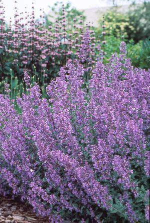 Nepeta (Walker's Low Catmint) Love this plant. Bees love it, smells great, kitties love it, spreads easily, and it blooms all summer!