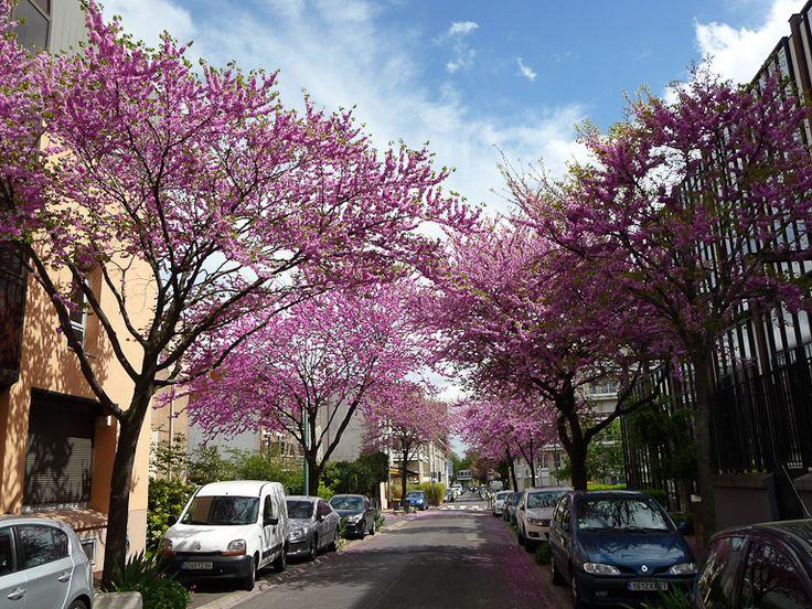 17 best images about trees on pinterest gardens persian and sweet gum - Bitumen van judee ...