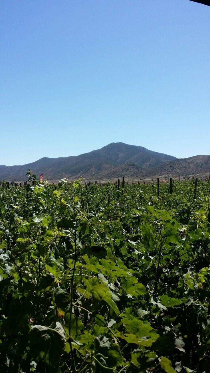 Los olea, ruta del vino.Ensenada B.C