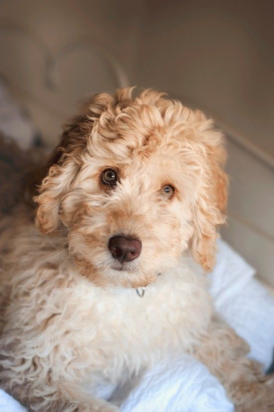 Download Labradoodle Chubby Adorable Dog - 08c270203537f4417e4428b5189ee095--labradoodle-puppies-labradoodles  Photograph_223295  .jpg
