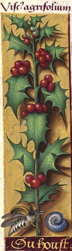 du houst - Viscus agrifolium (Ilex aquifolium L. = fruits du houx -- On tirait déjà la glu de cette plante ; de là le nom de Viscus) -- Grandes Heures d'Anne de Bretagne, BNF, Ms Latin 9474, 1503-1508, f°123v