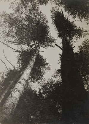 Pine Trees by Rodchenko, 1927