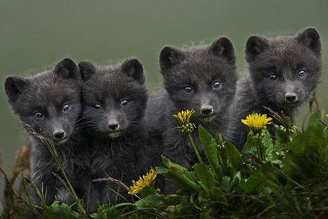 The beautiful arctic fox of the Hornstrandir Nature reserve of Iceland!