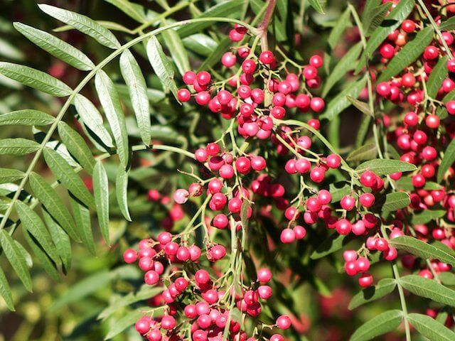 How To Grow A Peppercorn Plant With Images Pepper Tree Black