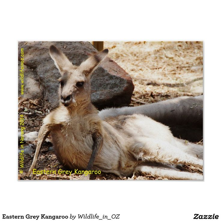 Eastern Grey Kangaroo Poster - Click on photo to view item then click on item to see how to purchase that item. #kangaroo #easterngreykangaroo #marsupial #bear #poster #wildlife #australianwildlife #zazzle