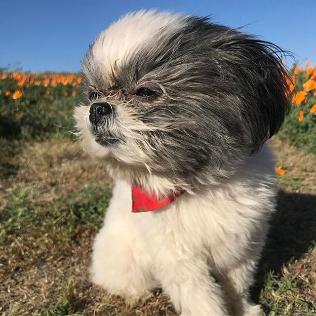 Free Shih Tzu Puppies Two Shih Tzu Puppies For Free Adoption Offer Aberdeen For Sale Pets Cute Baby Animals Shih Tzu Puppy Puppies