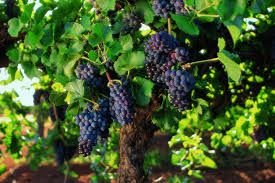 Image result for barossa valley